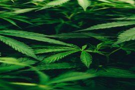 7 Rules Of International Distribution Of Marijuana