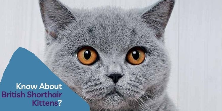 Know About British Shorthair Kittens