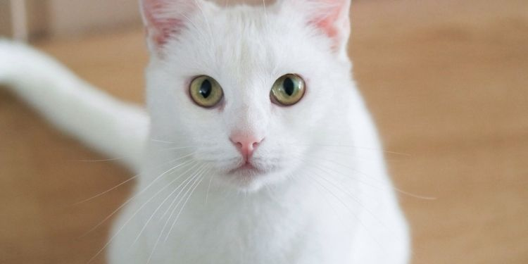 What Are The Different Breeds In Which White Kittens Available?