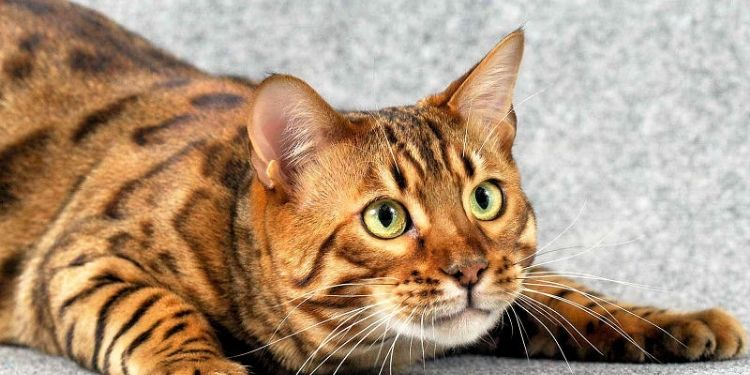 What Are The Different Facts About Bengal Kittens For Sale